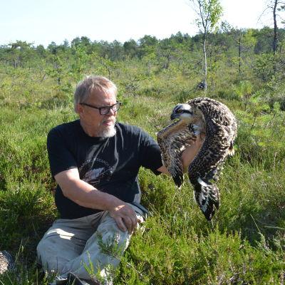 Juhanni Karhumäki sitter i ett kärr med en ung fiskgjuse i handen. Fågeln ska ringmärkas.