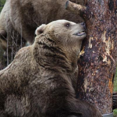 Björn krafsar sig mot träd.