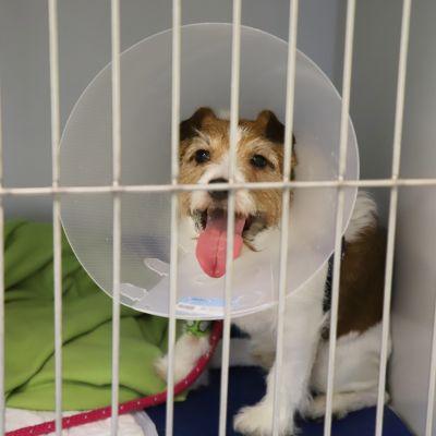 Chili koira Kouvolan eläinsairaalalla.