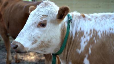 En ko av östfinsk lantras i närbild.