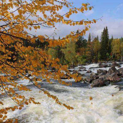 Kuvan vasemmassa reunassa on ruskan kultaaman koivun oksia, taustalla kuohuu vuolaana koski, jossa on suuria kiviä.