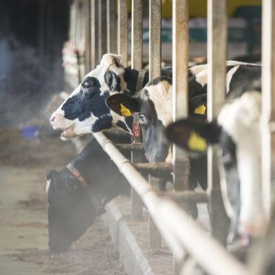 Lehmiä navetan pihatossa.