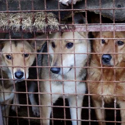 Katukoiria koiratarhalla Viipurissa odottamssa uudelleensijoitusta.