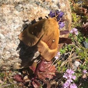 Vad detta är för en fjäril? undrar en skäribo i Kardrag.