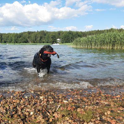 En svart hund kommer upp ur vattnet till en strand med en röd leksak i munnen.