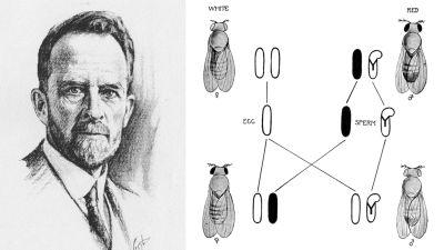 Blyertsteckning av Thomas Hunt Morgan samt skiss över hans genetiska diagram av ärftlighet.