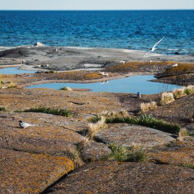 Fisktärnor flyger ovanför klippa intill havet.