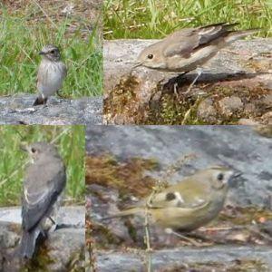 fåglar vid fågelbad