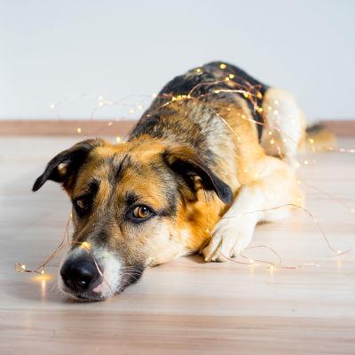 Hund med julljus.