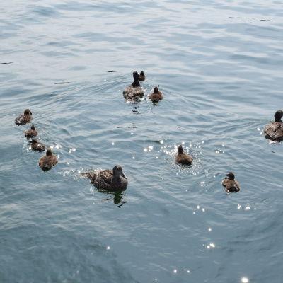 Några ådor simmar i havet med några ungar.