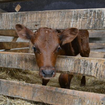 En kalv på Bjarne Maras mjölkgård i Korsholm.