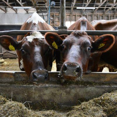 Kor på Bjarne Maras mjölkgård i Korsholm.