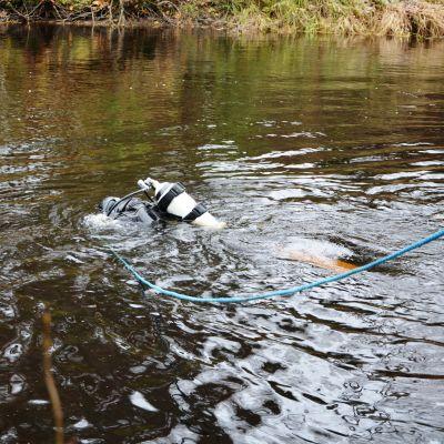 Eero Mäenpää dyker efter flodpärlmusslor i Storå i Södra Österbotten.