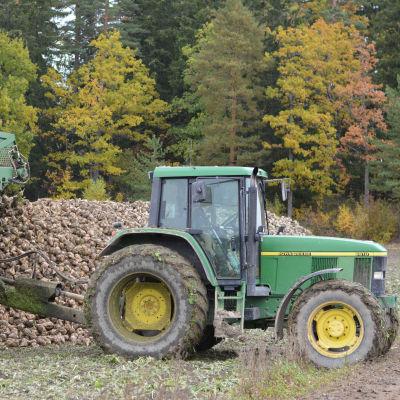 En grön traktor med sockerbetor på släpet.