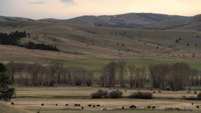 Kor betar i öppet Montanalandskap.