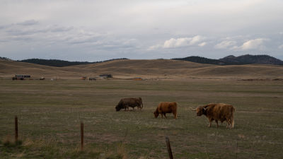 Betande kor i Montana, USA.