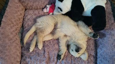 Koira ja pehmopanda vierekkäin makuulla.