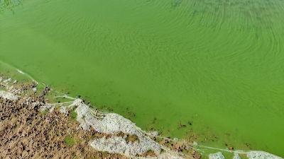 Gröna alger vid en badstrand.