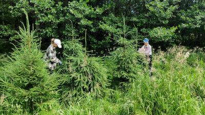 Två kvinnor som står och formar granar på sommaren.