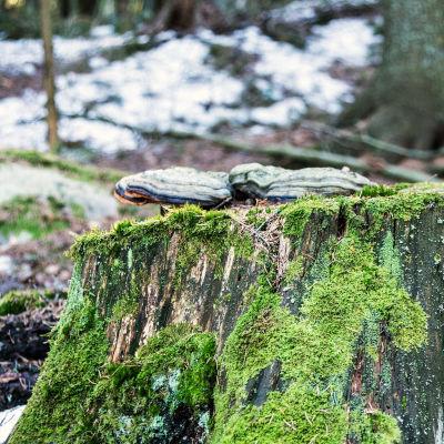 Tickor växer på trädstubbe