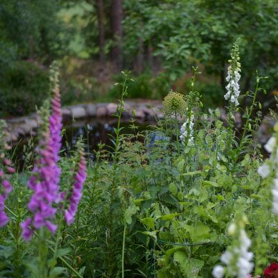 Blommor (fingerborgsblommor, digitali) framför en damm i en grön och lummig trädgård.