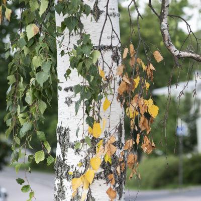 Björklöv i höstiga färger.