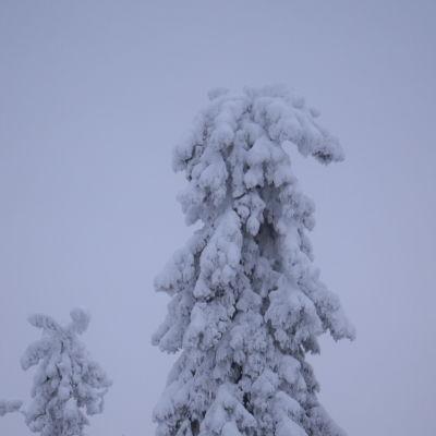 Luminen kuusi Vuokatinvaaralla.