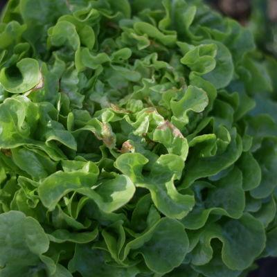 Grön bladsaalt med brunt i mitten. Det bruna är ecken på att sallaten fått för lite vatten och näring.