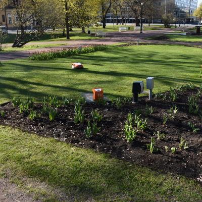 Robottiruohonleikkuri leikkaa nurmikkoa Porin Raatihuoneenpuistossa.