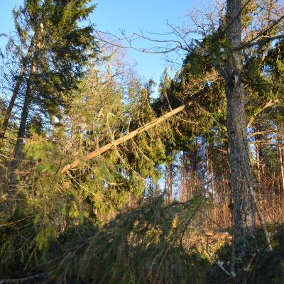 En gran har fallit omkull i en skog.