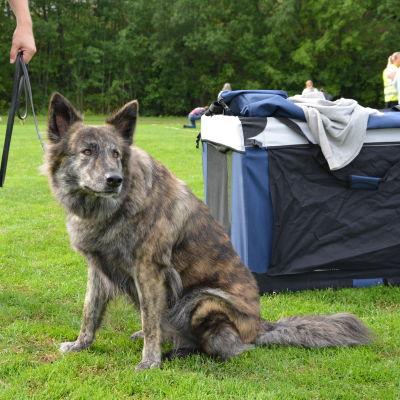 Den hollländska vallhunden Hollandroy Xtra Special sitter vid sin resebur.