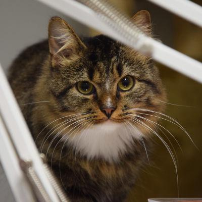 En närbild på en långhårig brunsvart katt som tittar in i kameran med stora ögon.