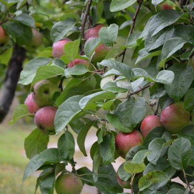 Äppelträd.
