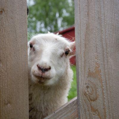 Ett vitt får som kikar fram bakom ett staket.