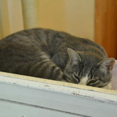 Grårandig katt i Tolkis katthus.