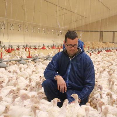 En man med blå halare sitter på huk bland hundratals kalkoner.
