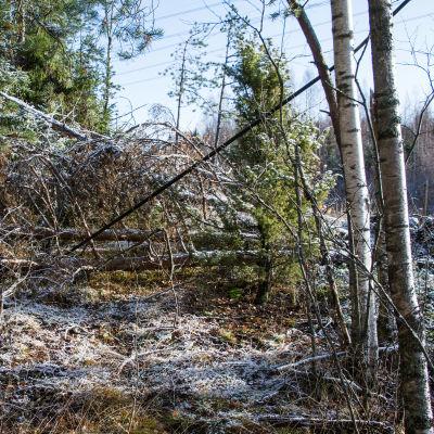 Träd som pressar ner telefonledningar