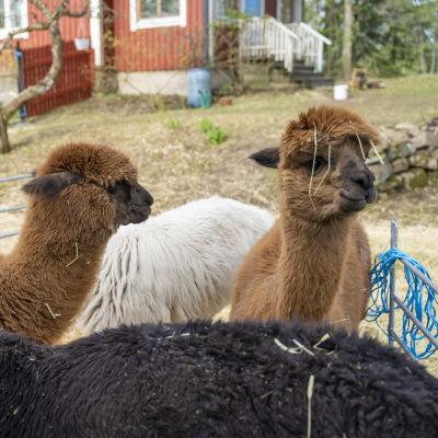 En liten flock med alpackor.