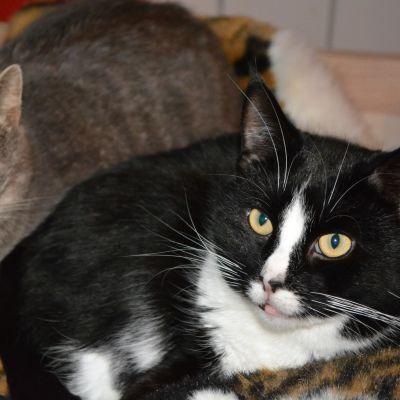 En grå och en svartvit katt.