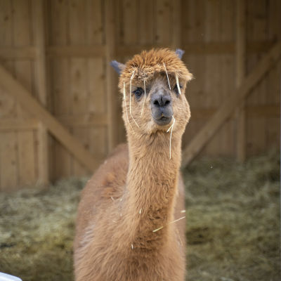 En brun alpacka som heter Came.