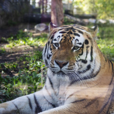 En tiger