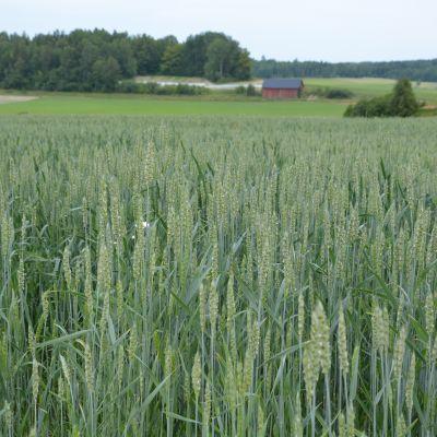 Vetefält i Västankvarn