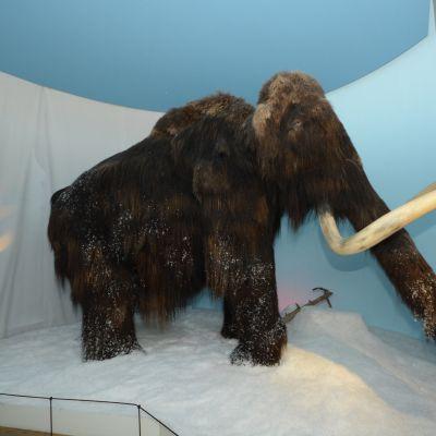 Mammutti Kuopion museossa.