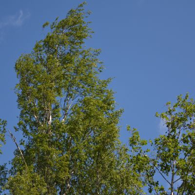 Puu taipuu tuulessa