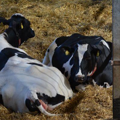 Lehmiä Koskenojan perheen navetassa Jalasjärven Luopajärvellä