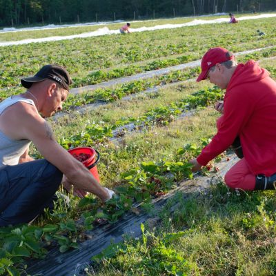 Viljelijä Marja Alitalo ja poimija Vasyl Koblyk tutkivat satoa.