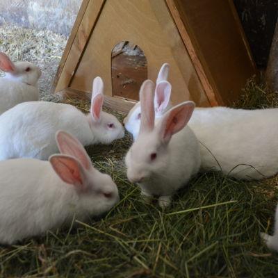 stjärnebackens kaniner