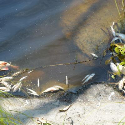 döda fiskar