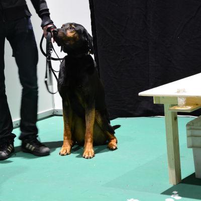Mögelhunden Ropo sitter och väntar på att han ska få visa upp sina kunskaper.