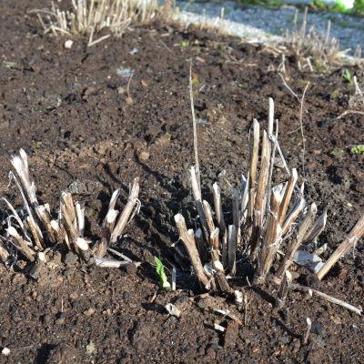 Många perenner har strykt med i vinter.